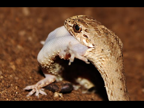 Montpellier snake swallow House gecko - Cyprus