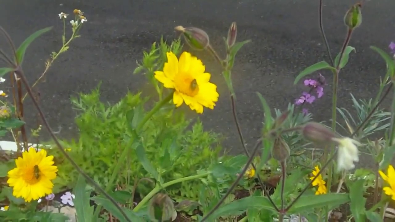 Irish Wildflowers Grown From Seed Bombs Co Meath Ireland Part 3