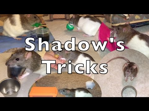 Shadow The Rat's Amazing Tricks Part 1
