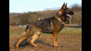 TOP 10 najmądrzejszych psów na świecie.