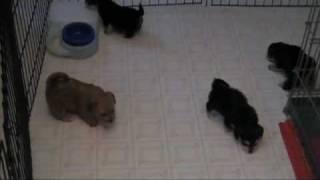 Yo-chon Puppies At Play