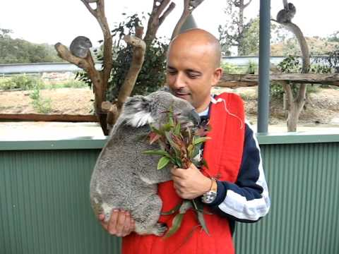 koala al cohunu wildlife park perth western australia. Black Bedroom Furniture Sets. Home Design Ideas