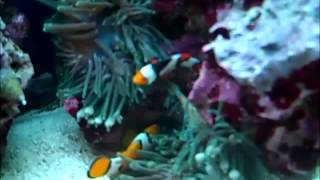 Green Bubble Tip Anemone Splitting