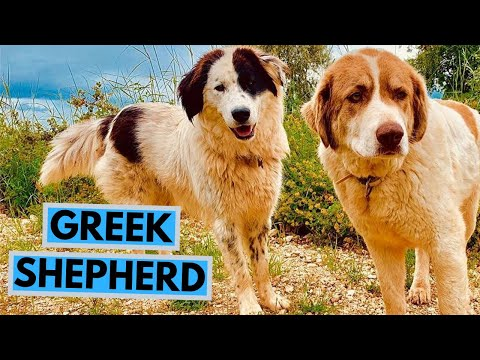Greek Shepherd Dog Breed - Facts and Info