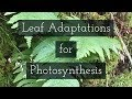 How is the Leaf Adapted for Photosynthesis?