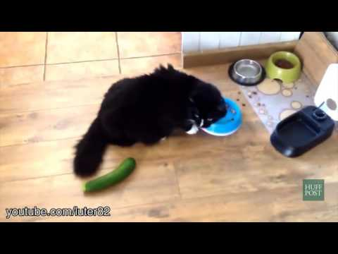 Unsuspecting Cats Get Completely Startled By Cucumbers!