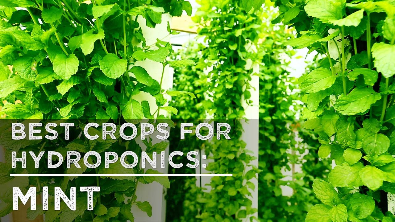 Incroyable Best Crops For Hydroponics: Mint   YouTube