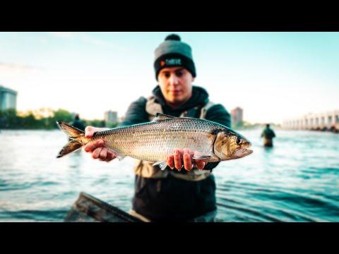 SHAD FISHING MADNESS!!! (Montréal Shad Run 2020)