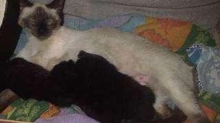 Baby black kittens breast feeding till full. One falls off to go to bed