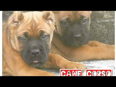rare:-fawn-coat-cane-corso-puppy.-3months.-the-mastiffs-from-italy.