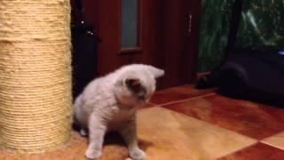 Лиловые британские котята из ILIOS CATS