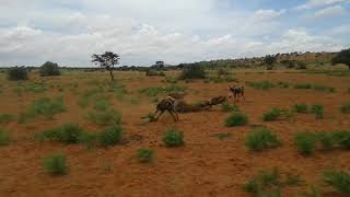 African Wild Dogs vs Warthog