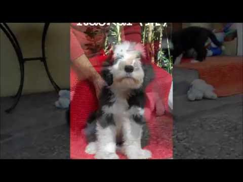 bearded collie gremontree - Michelle's puppies 21