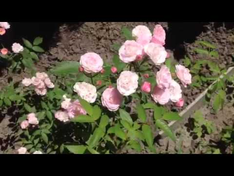 Канадская парковая роза. Размер куста высота 80-100 см, ширина 80 см. Цветок 7-8 см, махровый около 50 лепестков. Цветение длительное, повторное. Аромат слабый. Устойчивость сорта к заболеваниям черная пятнистость ++ (устойчив) мучнистая роса ++ (устойчив). Положительные особенности.