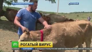Коровий вирус: на Северном Кавказе борются с экзотической эпидемией
