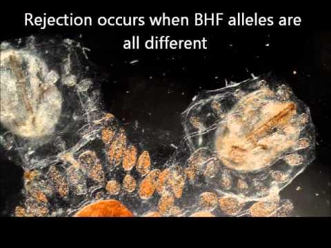 Botryllus: an odd and fascinating marine organism