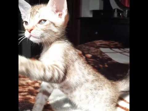 Ocicat kitten chocolate silver spotted