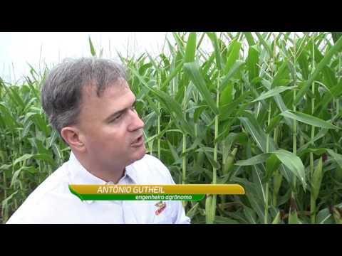 Milho irrigado: produtor chega a 258 sacas/hectare
