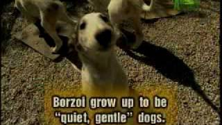 Breed All About It  Borzoi