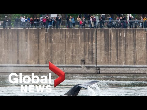 Humpback whale spotted in Montreal drawing crowds
