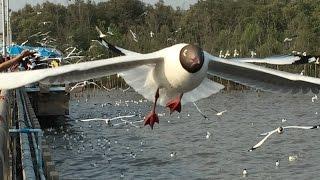 นกนางนวล สถานตากอากาศ บางปู 餵海鷗零距離Bang Pu Seaside ...