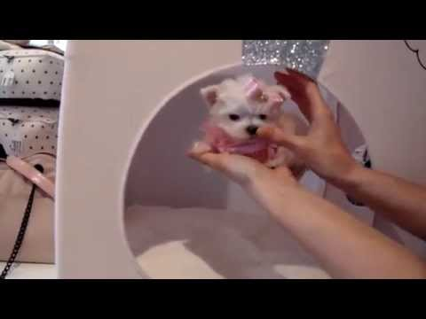 Teacup Puppies Store Tiny Teacup Maltese For Sale Puppy Boutique 2016 WE SHIP