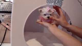 Teacup Puppies Store Tiny Teacup Maltese For Sale Puppy Boutique 2016 WE SHIP(, 2014-04-17T17:08:25.000Z)