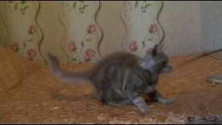 ЛИРИКУМ  Мамонт  Сибиряк - 3,5 мес. - мейн-кун котенок , Maine Coon Cat