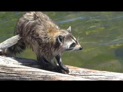 Raccoon Eating Crayfish