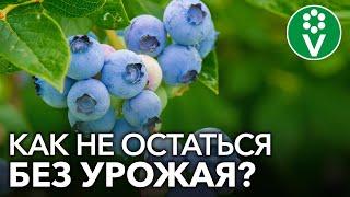 БОЛЕЗНИ ГОЛУБИКИ И СПОСОБЫ ИХ ЛЕЧЕНИЯ. Как не остаться без урожая?