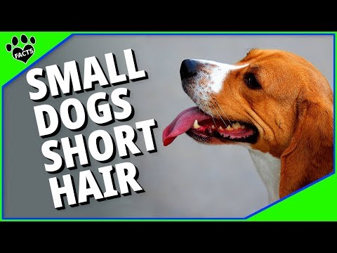10 Small Dog Breeds With Short Hair - No Grooming Required