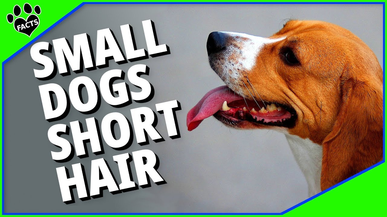 Small Dog Breeds With Short Hair Youtube