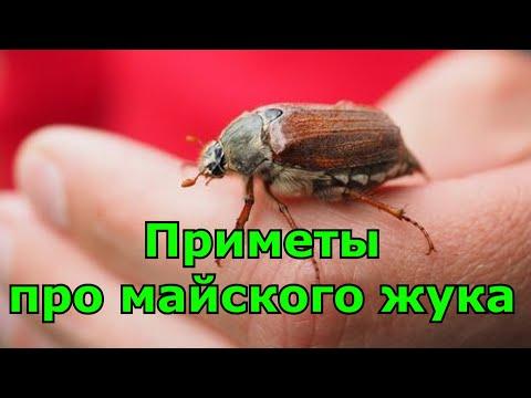 Приметы про майского жука.