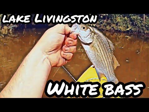 White Bass Fishing At Lake Livingston