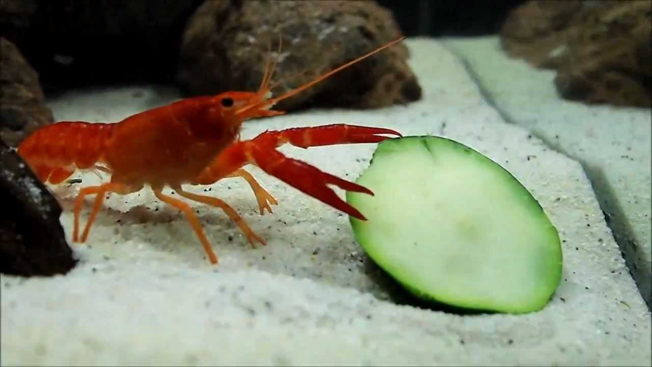 Crayfish Eating Zucchini - Freshwater Nano Cube Aquarium ...