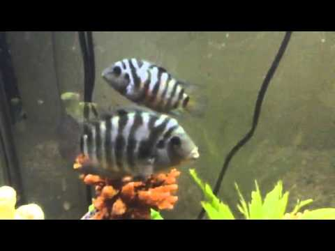 how to tell the difference between male and female cichlids