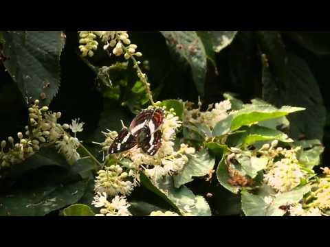 サカハチチョウとリョウブの花