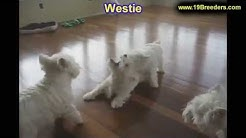 West Highland White Terrier, Westie, Puppies, Dogs, For Sale, In Jacksonville, Florida, FL