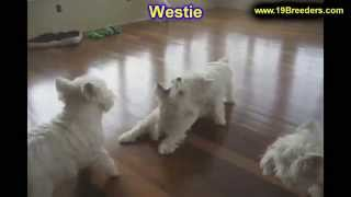 West Highland Terrier, Puppies, For, Sale, In, Jacksonville,florida, Fl,tallahassee,gainesville,