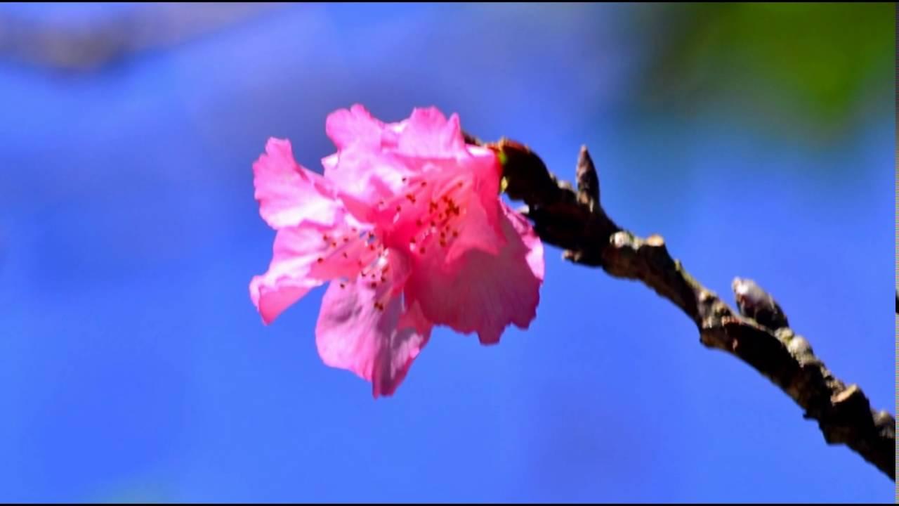 Wisata Bunga Sakura Cibodas Indonesia Tourism Murah