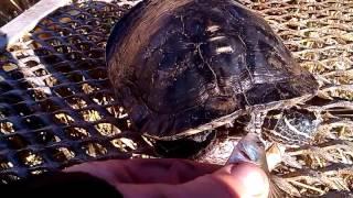 Красноухая черепаха , кормление после зимовки.