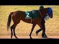 アットザシーサイド、京都牝馬Sのパドック。現地映像、京都競馬場