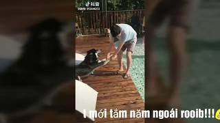 {Funny Animal} Khi đại ngáo bị ép đi tắm 🛀🛀 (Husky dog is doing confusing actions)