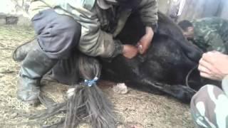 метод кастрации лошадей со времен Чингисхана