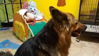 Кубинский амазон поет при виде собаки