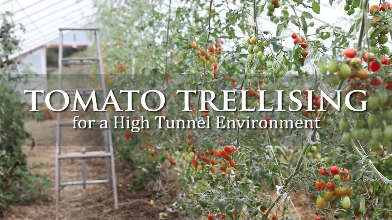 Tomato Trellising For A High Tunnel Environment Youtube