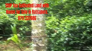 120P Tea Cultivated Land with House for Sale in Ratnapura.
