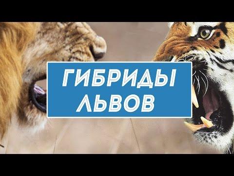 Гепарды, Все о гепардах: Мир Гепардов - Пятнистый Ветер