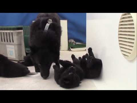 Sailing Schipperke puppies - from lumps to toddlers