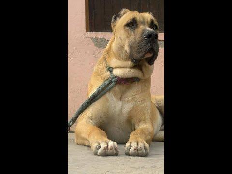 Pakistani Mastiff – Bully Kutta – Bull Mastiff